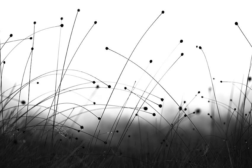 BUTTON GRASS, WEST COAST