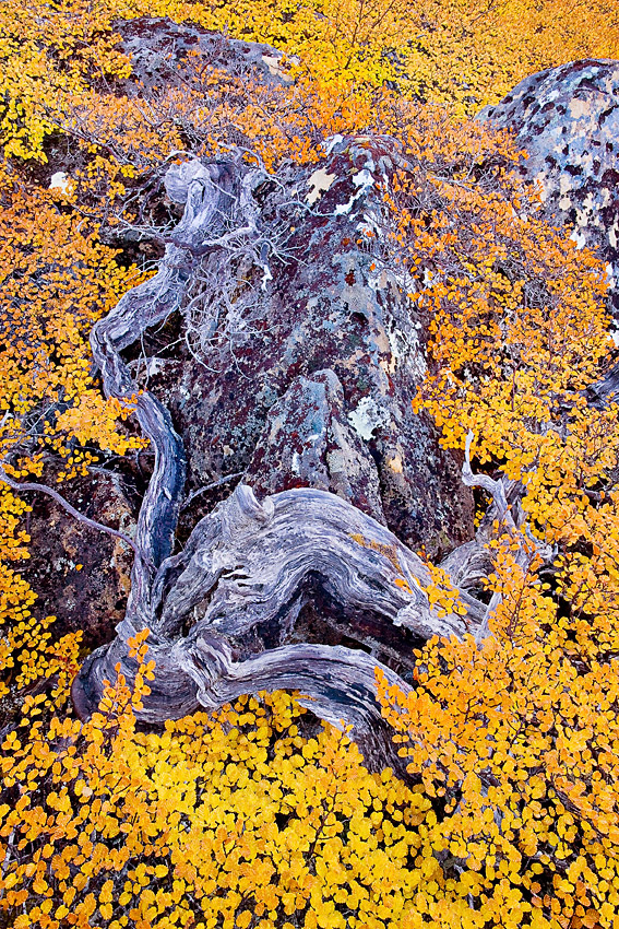 FAGUS DETAIL 2, MOUNT MURCHISON