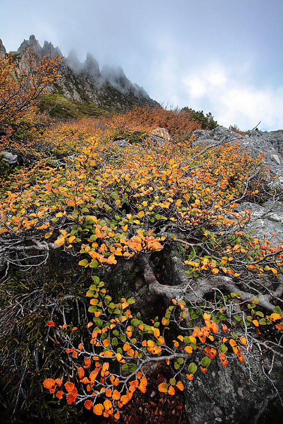 FAGUS 3, CRADLE MOUNTAIN