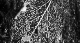 DECAYING LEAF, STYX VALLEY