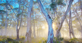 SNOWGUMS AND MORNING MIST, LAKE ST CLAIR