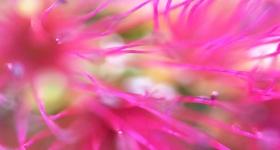 PINK FLOWERING BOTTLEBRUSH