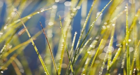 Morning dew on grasses