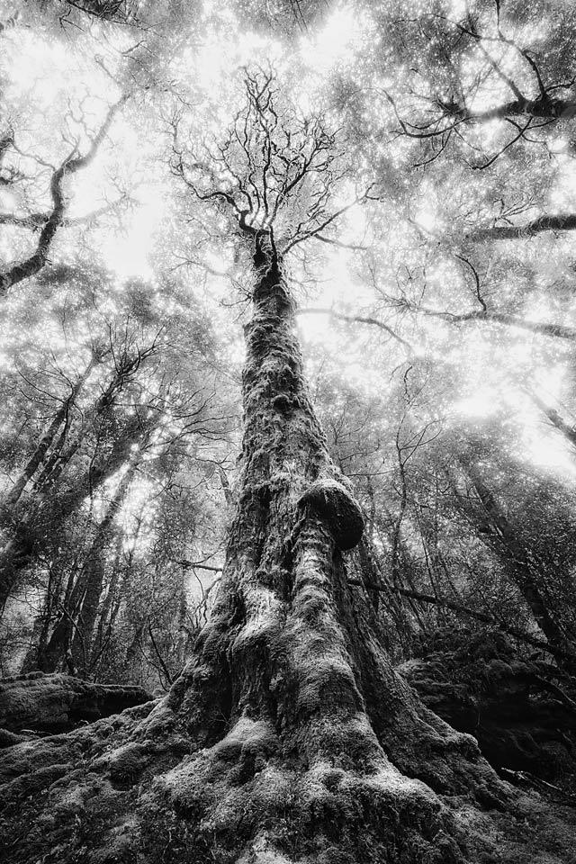 Old myrtle tree, Vale of Belvoir