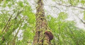 400 YEAR OLD MYRTLE TREE, VALE OF BELVOIR