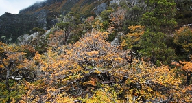 FAGUS 2, CRADLE MOUNTAIN