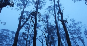 HIGHLAND SNOWGUMS IN MIST, VALE OF BELVOIR