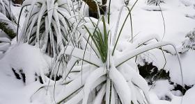 Pandani in snow