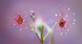 PINK SUNDEWS AT CHAUNCY VALE