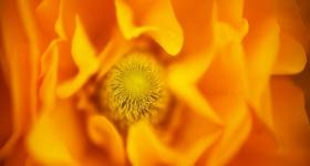 Orange Poppy Ruffles